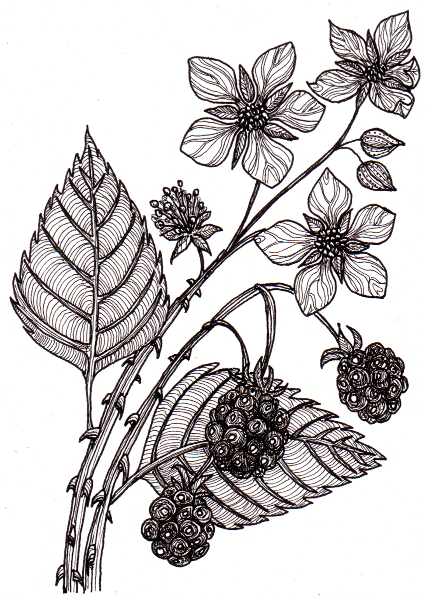 Bramble Bush Drawing Bramble © Angela Porter